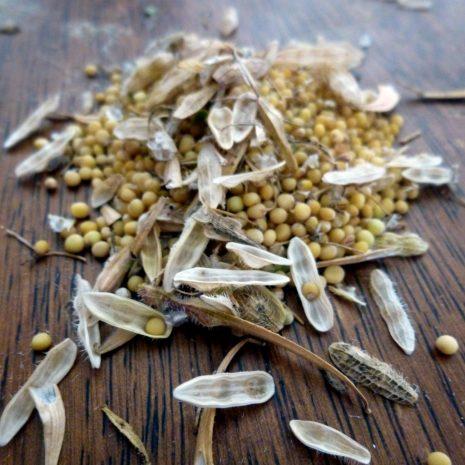 Récolter les graines de moutarde blanche