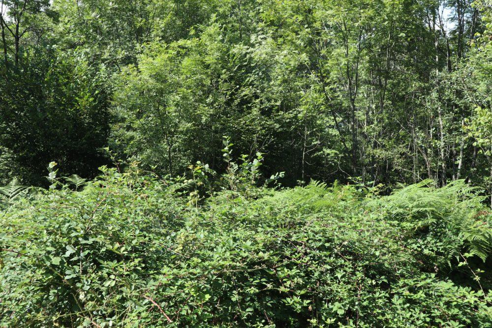 Sous ses airs de jungle impénétrable se cache en réalité une pépinière à jeunes arbres, bien cachés par la masse des fougère aigle et des ronces